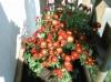 Crizanteme de la tiganca+capsunii mei - 25 de lei