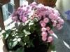 Crizantema mea+trandafirul meu+capsuni - gratis