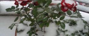 Trandafirul meu, luat prin surprindere, normal, de subita iarna