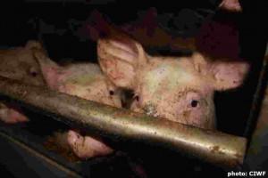 Sa luptam pentru emanciparea porcilor si abolirea gratarelor