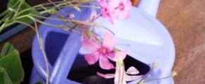 Trifoiul meu cel vesnic inflorit