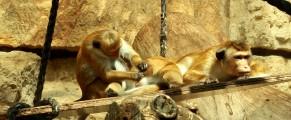 Niste maimutici