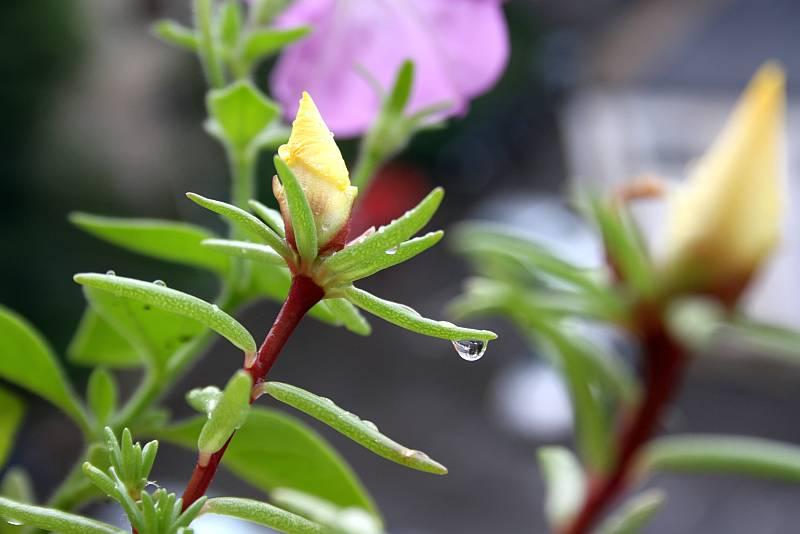 floare de piatra