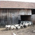 De ce nu-i prieşte Mioriţei iarba din UE