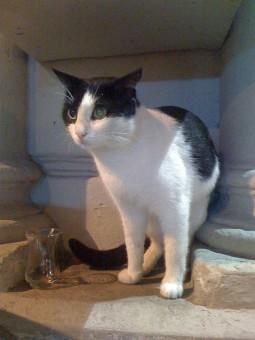 pisica-de-istanbul
