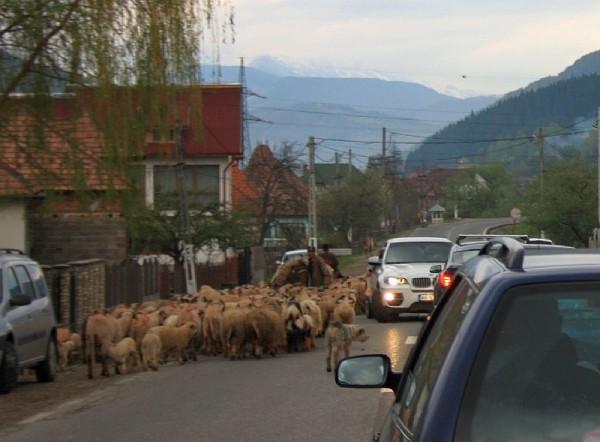 Traficul în zonă la ora de vârf când se întorc turmele acasă
