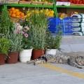 pisica-pelopones