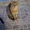 pisica-xiropigafo