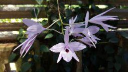 orhidee3