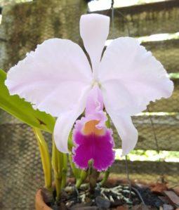 orhidee4