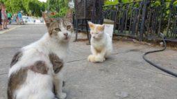 pisici-cubaneze